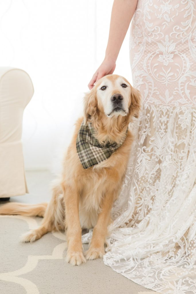 An aging Golden Retriever leans against his mom in her wedding dress as she prepares for her big day.